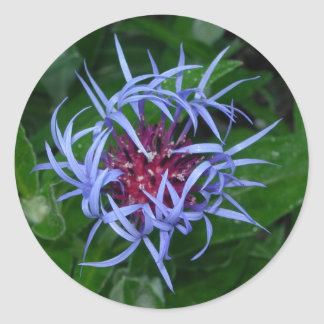 Blue Cornflower sticker