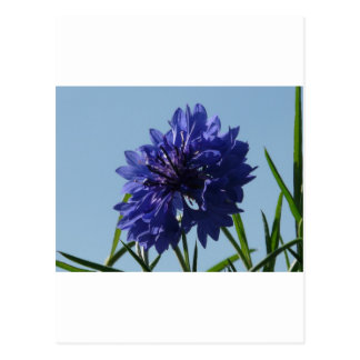 Blue Cornflowers Postcard