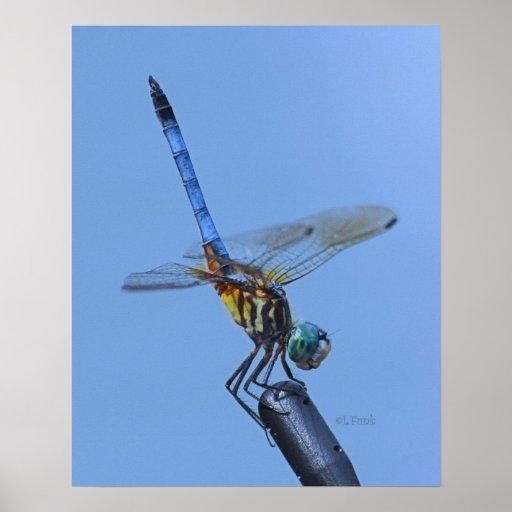"""Blue Dasher Dragonfly in """"Obelisk Posture"""" Poster"""