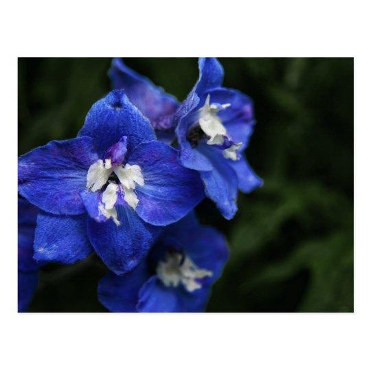Blue Delphinium flower postcard