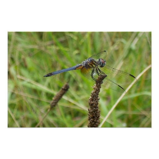 Blue Dragonfly 6578 Poster