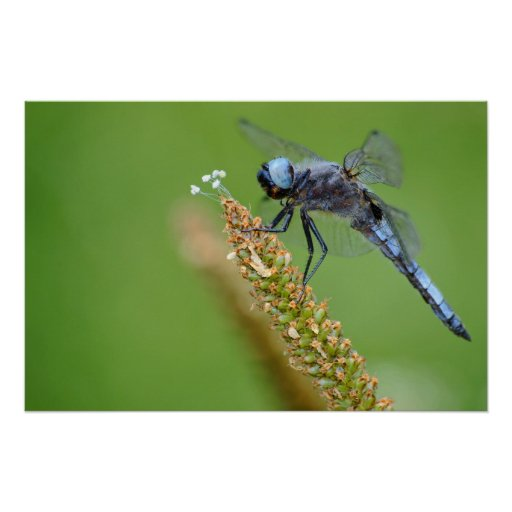 Blue dragonfly on grass posters