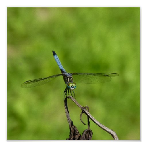 Blue Dragonfly on Stick Poster