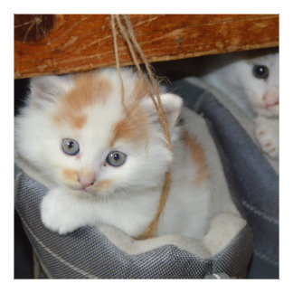 Blue Eyed, Brown and White patched Kitten in boot Photo Print