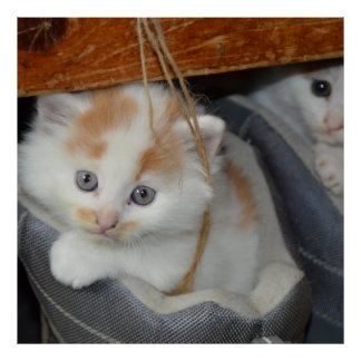 Blue Eyed, Brown and White patched Kitten in boot Poster