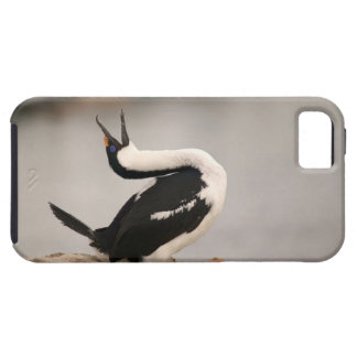 Blue-Eyed Shag in nesting colony Petermann Case For The iPhone 5