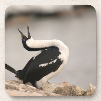 Blue-Eyed Shag in nesting colony Petermann Coasters