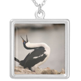 Blue-Eyed Shag in nesting colony Petermann Silver Plated Necklace