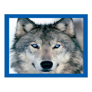 Blue Eyed Wolf Postcard