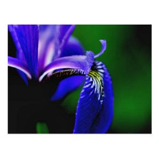 Blue Flag Iris Flower Photography Postcard