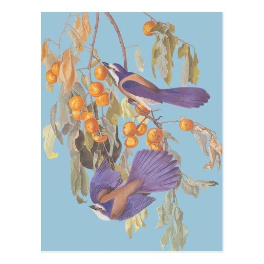 Blue Florida Scrub Jay Audubon Birds with Oranges Postcard