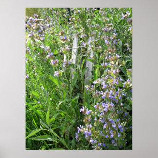 Blue Flowering Sage Herbal Photography Print