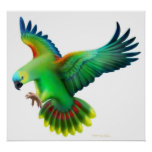 Blue Fronted Amazon Parrot Poster