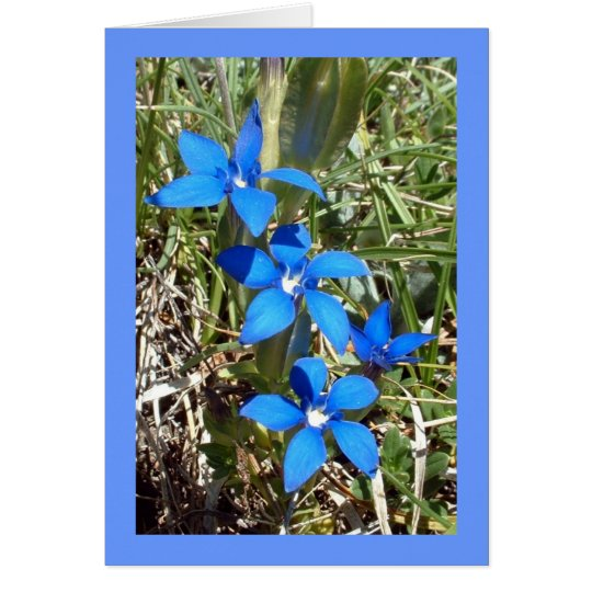 Blue Gentian Alpine Flower -- Greetings card