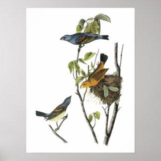 Blue Grosbeak by Audubon Poster