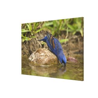 Blue Grosbeak drinking at backyard pond, Canvas Prints