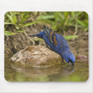 Blue Grosbeak drinking at backyard pond, Mouse Pad