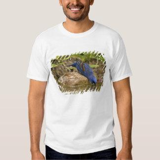 Blue Grosbeak drinking at backyard pond, Tees