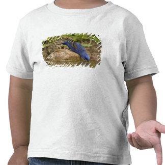 Blue Grosbeak drinking at backyard pond, T-shirts