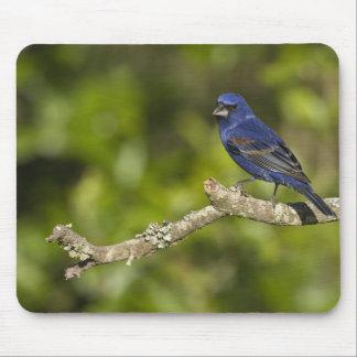 Blue Grosbeak,Passerina caeulea, Coastal Bend, Mouse Pads