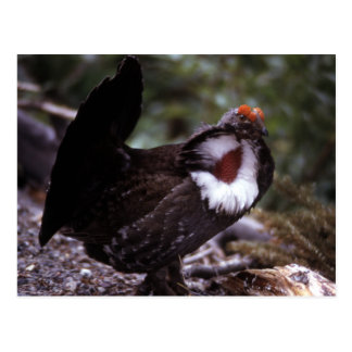 Blue Grouse Wildlife Series # 1 Postcard