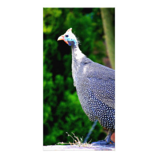 Blue Helmeted Guinea Fowl standing in the sun Picture Card
