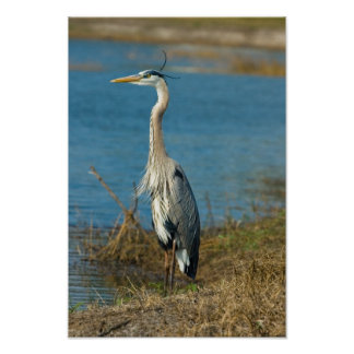 Blue Heron at Pond Print