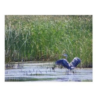 Blue Heron at Stillwater wildlife refuge Fallon, N Postcard