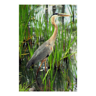 Blue Heron in the Reeds Poster