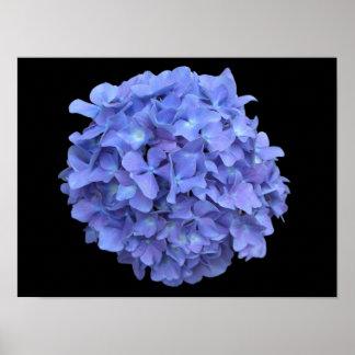 Blue Hydrangea Blossom Poster