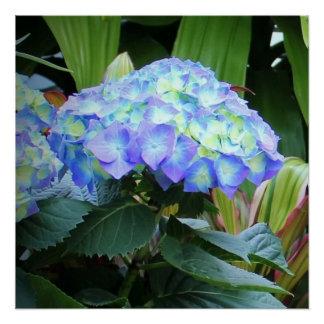 Blue Hydrangea Flowers Poster