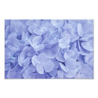 Blue Hydrangea Photo Print