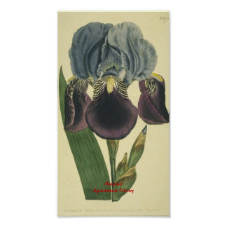 Blue Iris Botanical Print