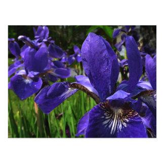Blue Iris Garden Postcard