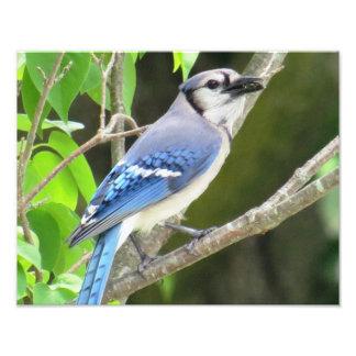Blue Jay Art Photo