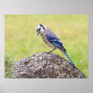 Blue Jay Bird Poster or Print