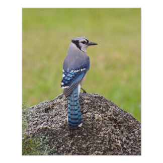Blue Jay Bird Poster or Print