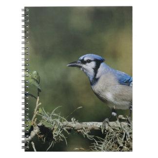 Blue Jay, Cyanocitta cristata,adult, San Notebook