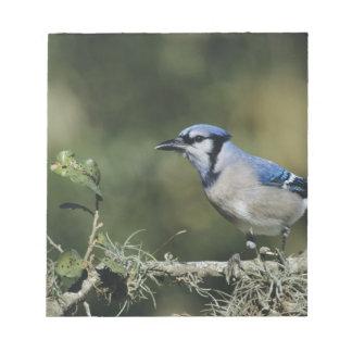 Blue Jay, Cyanocitta cristata,adult, San Notepad