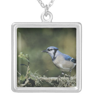 Blue Jay, Cyanocitta cristata,adult, San Silver Plated Necklace