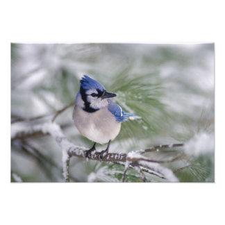 Blue Jay, Cyanocitta cristata Art Photo