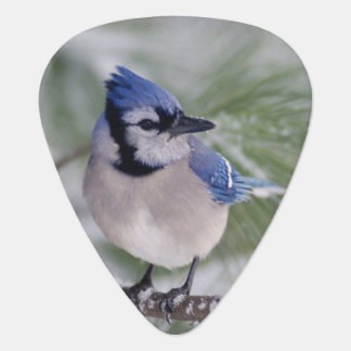Blue Jay, Cyanocitta cristata Guitar Pick