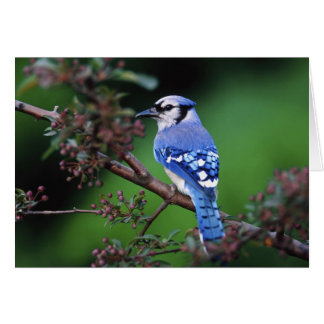 Blue Jay, Cyaoncitta cristata 2 Greeting Card