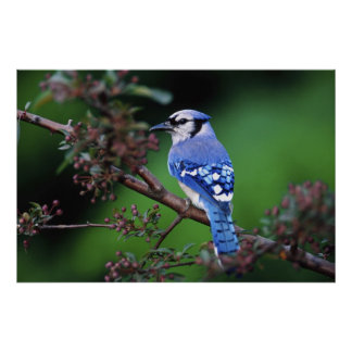 Blue Jay, Cyaoncitta cristata 2 Poster