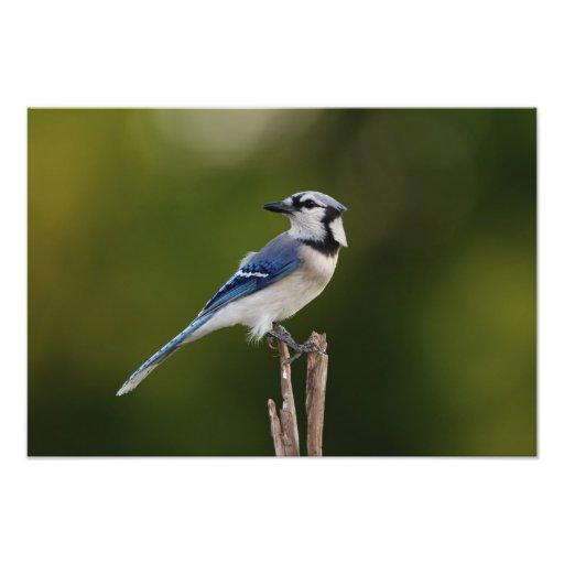 Blue Jay, Cyaoncitta cristata Photographic Print