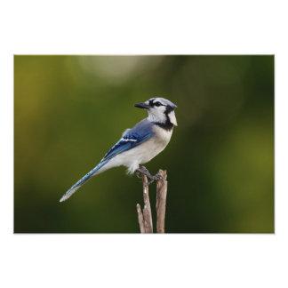 Blue Jay Cyaoncitta cristata Photograph