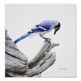 Blue Jay II Poster