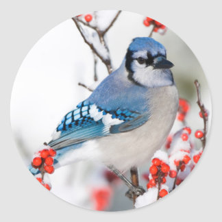 Blue Jay in Common Winterberry Classic Round Sticker