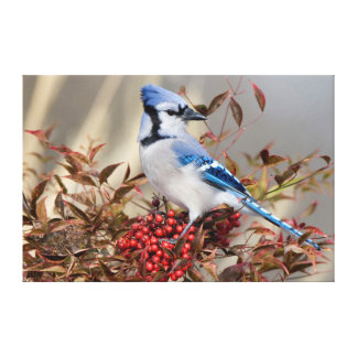 Blue Jay in Nandina Heavenly Bamboo Gallery Wrapped Canvas