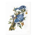 Blue Jay, John James Audubon Postcard